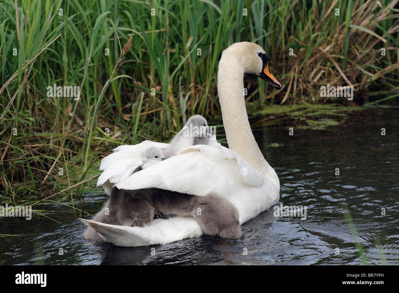 young swan cygnets clamber onto the adults back - Stock Image