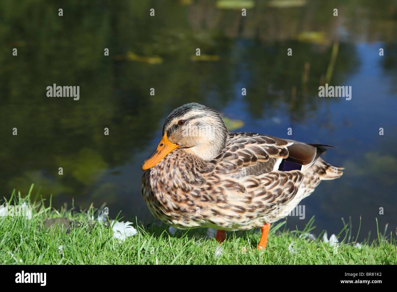 Ducks - Stock Image