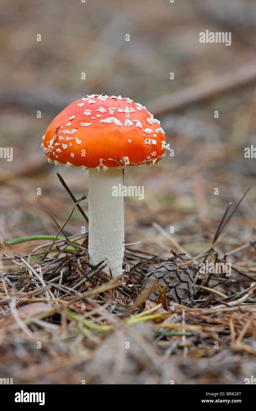 toadstool in the conifer needles - Stock Image