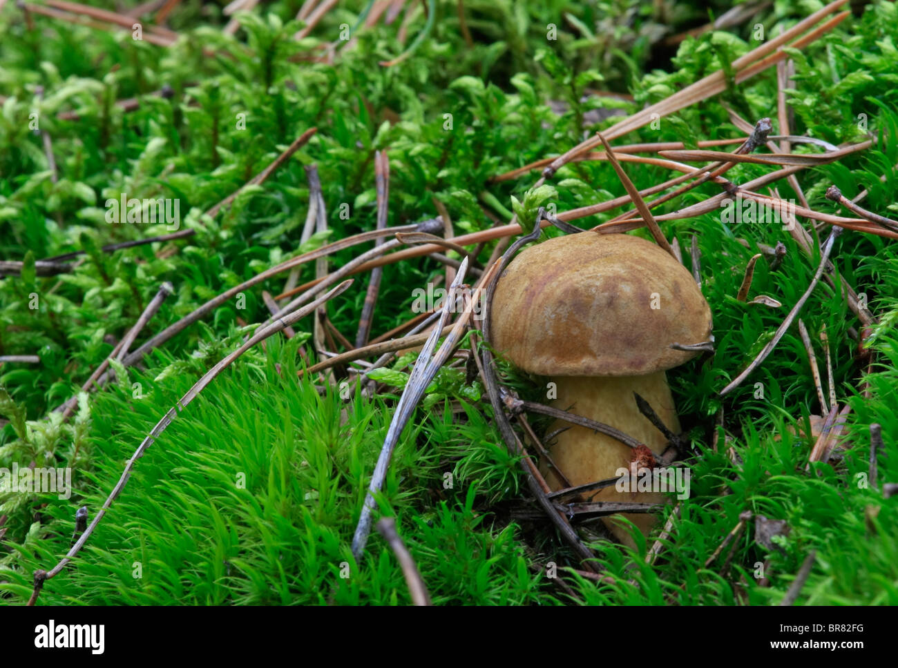 conifer needles, moss and muchroom - Stock Image
