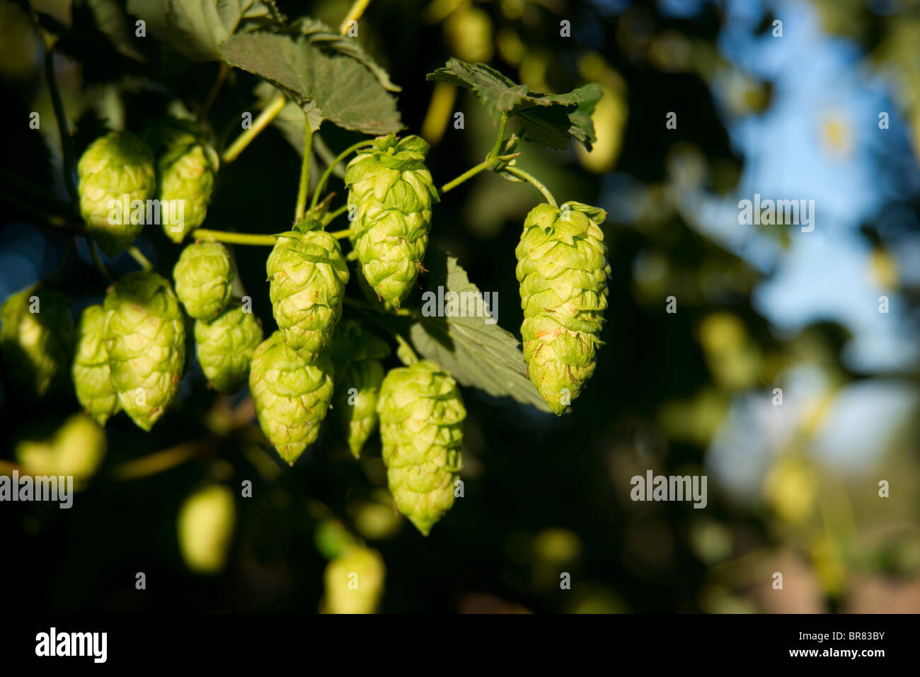 Hops growing on the vine in the field - Stock Image