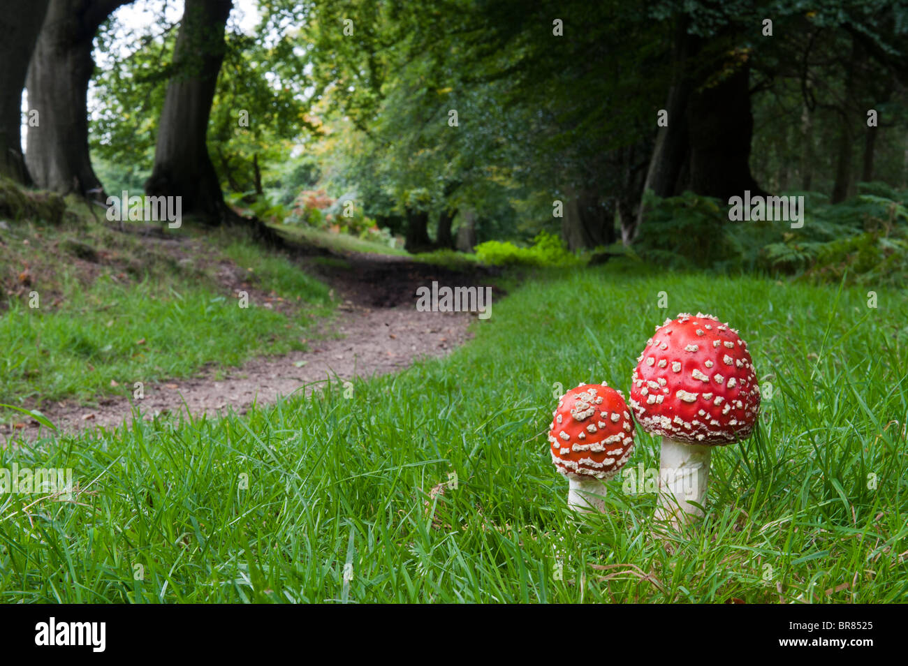 Amanita muscaria, Fly agaric mushrooms beside a woodland path. - Stock Image