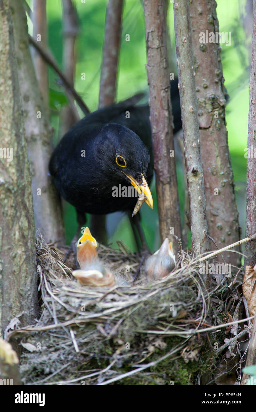 The Blackbird (Turdus merula) at a nest with hungry baby birds. - Stock Image