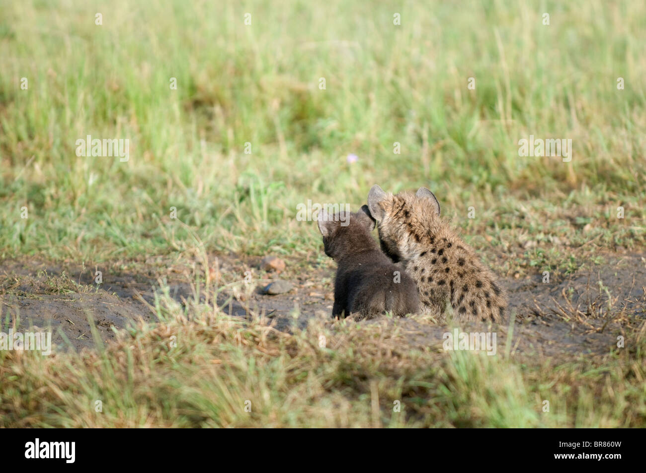 Two baby hyenas cuddle together in the grass. - Stock Image