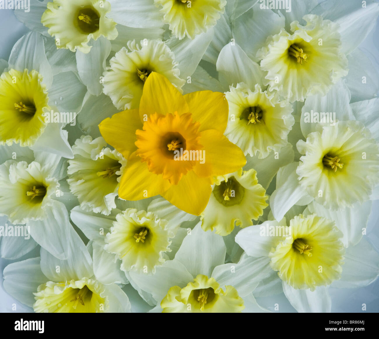 Close up Merging abstract pattern of spring daffodils bouquet of colorful yellow narcissus jonquils daffodil flowers, Stock Photo