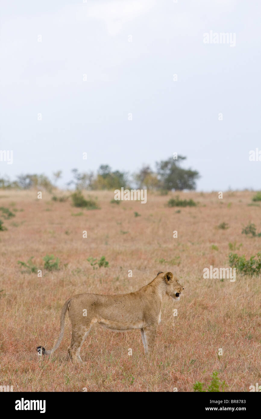 A lioness standing and watching in a game park in South Africa - Stock Image