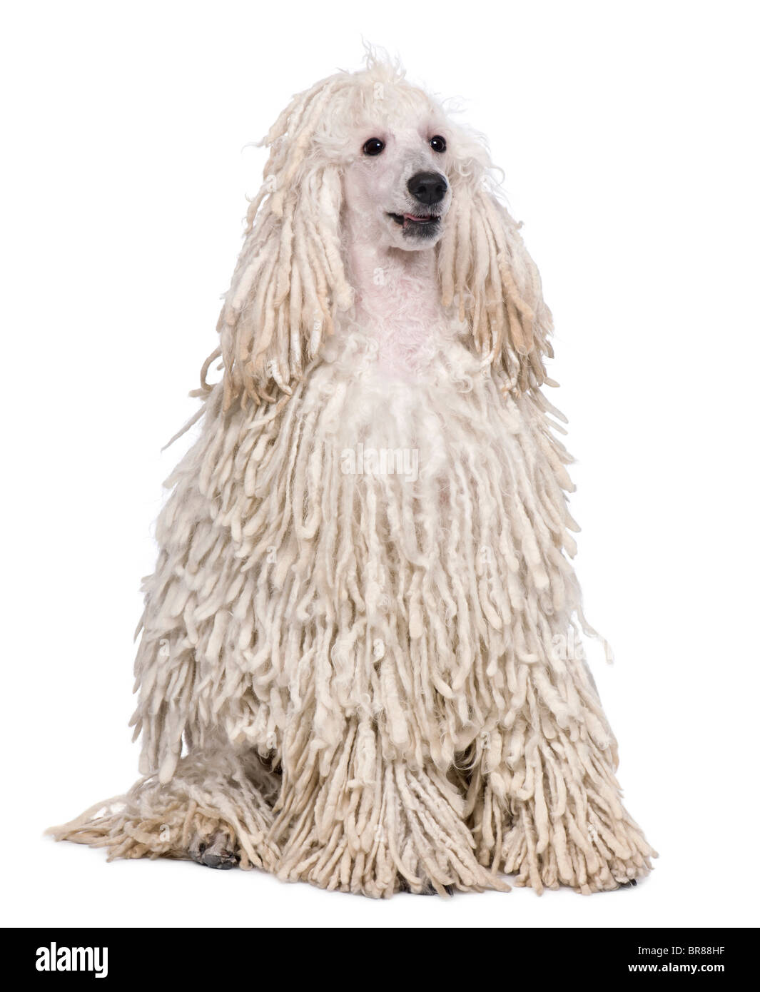 White Corded standard Poodle sitting in front of white background - Stock Image