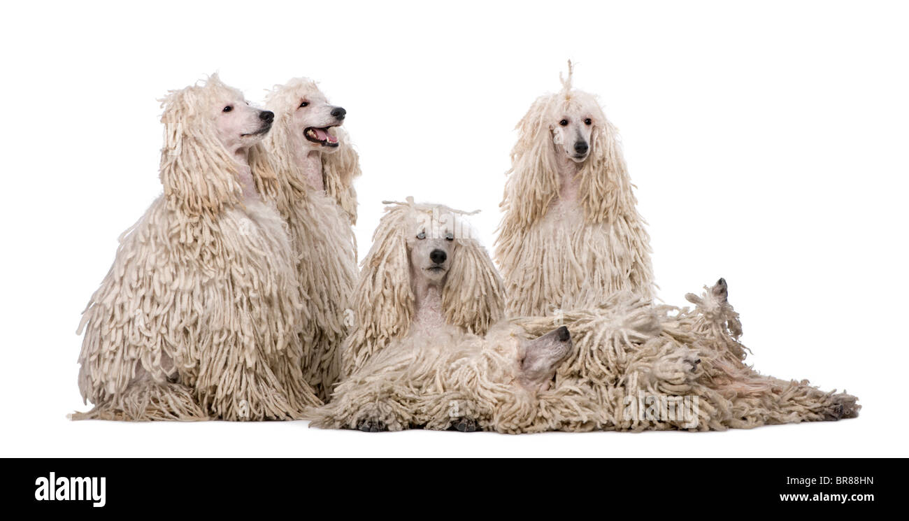 Group of White Corded standard Poodles in front of white background - Stock Image