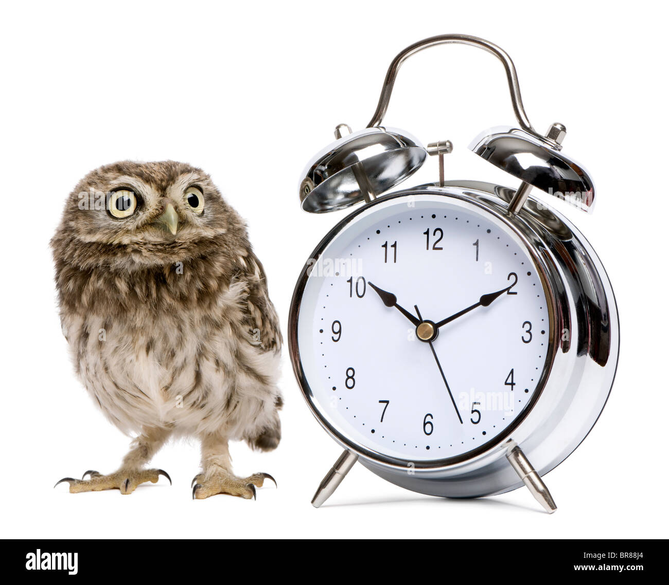 Little Owl, 50 days old, Athene noctua, in front of a white background with alarm clock - Stock Image
