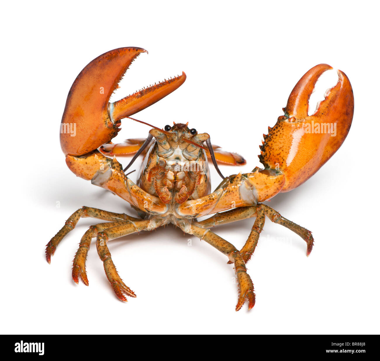 American lobster, Homarus americanus, in front of white background - Stock Image