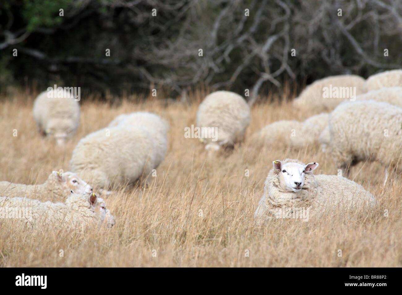 Flock of sheep with full fleece of wool on dry farmland. Moeraki, Otago, South Island, New Zealand, Australasia - Stock Image