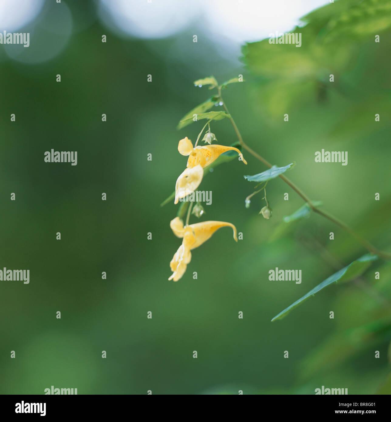 Yellow Balsam (Impatiens noli-tangere) Stock Photo