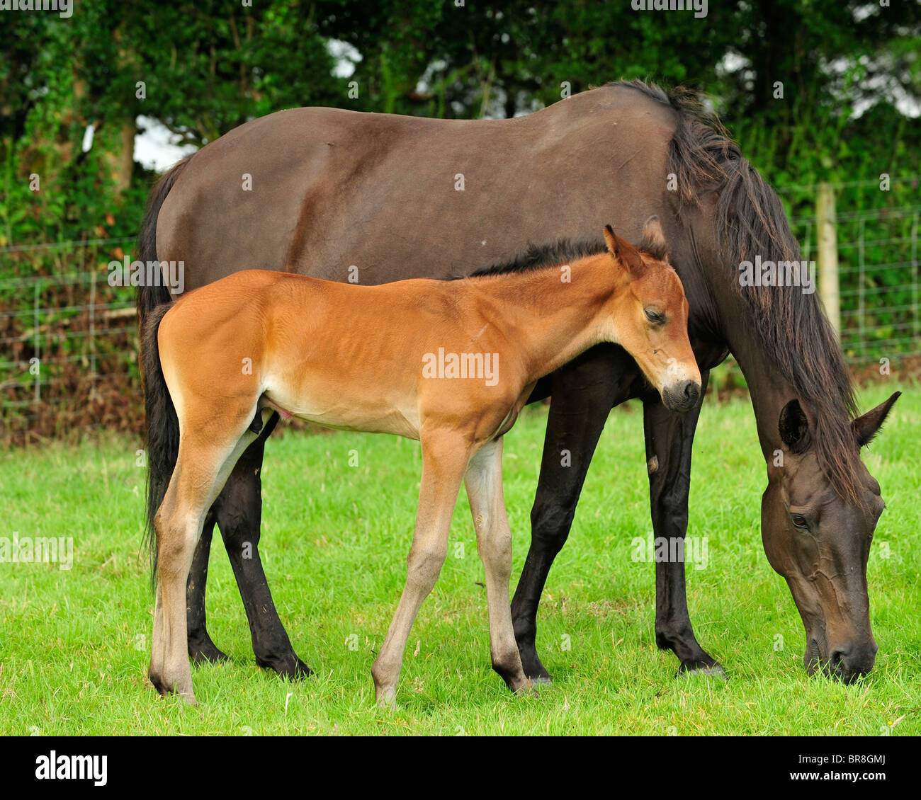 mare and foal - Stock Image