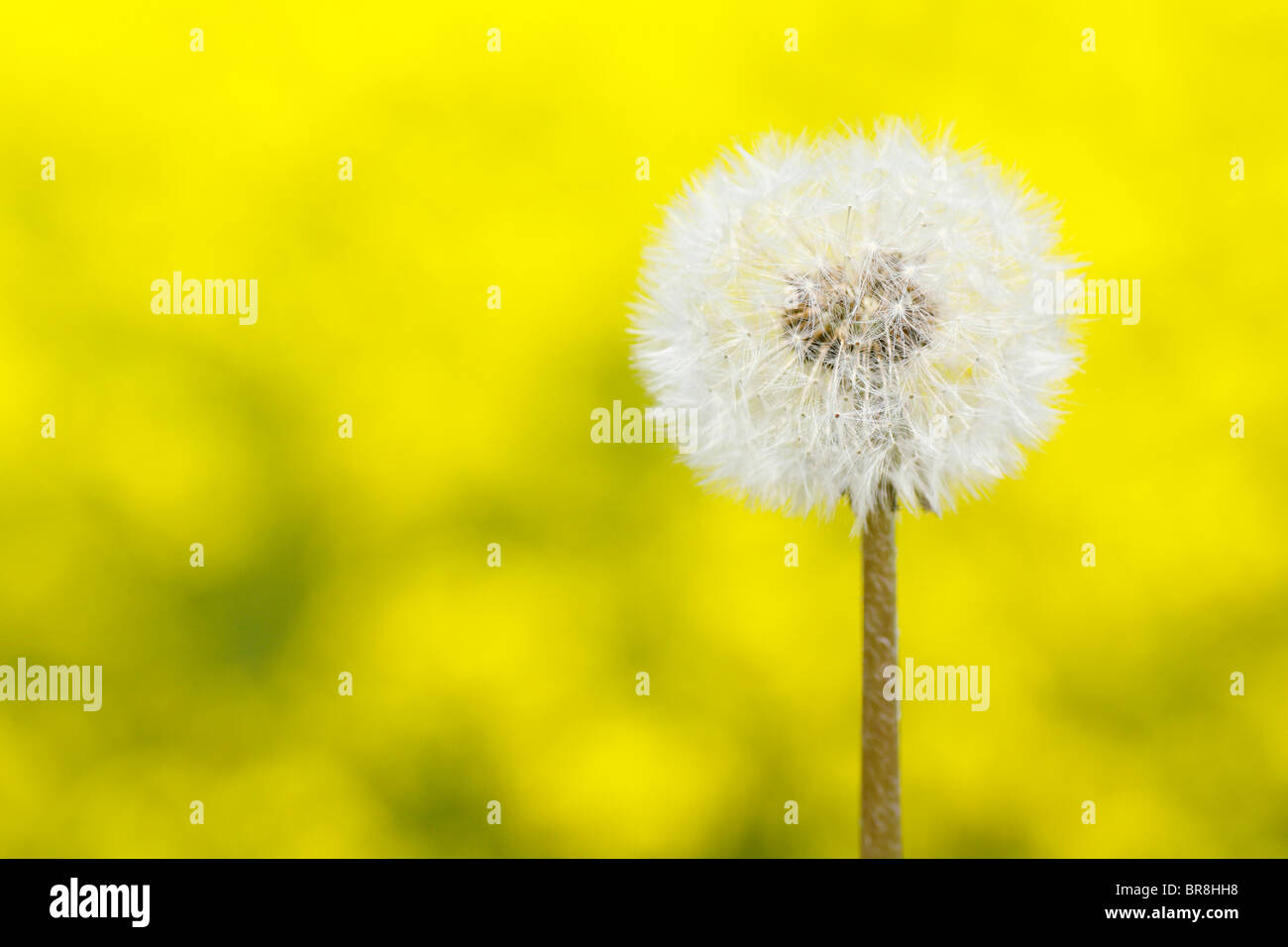 Seeds of dandelion, close up, differential focus, copy space Stock Photo