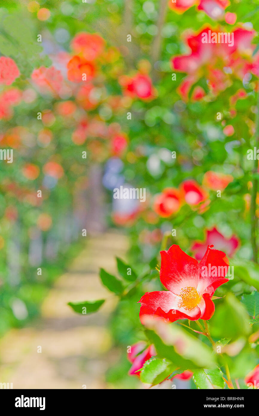 Rose greenhouse, close up, differential focus Stock Photo