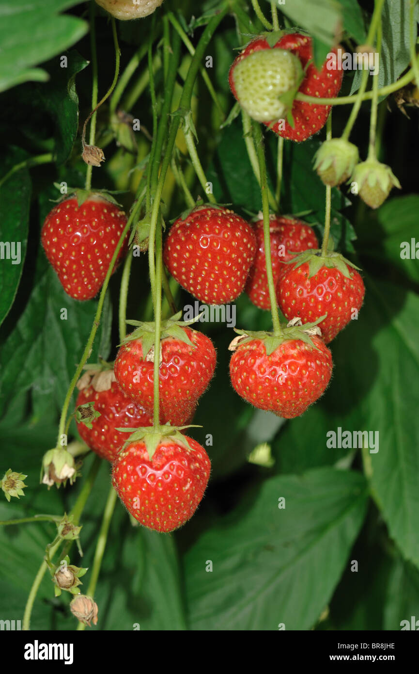 Ripe strawberry fruit grown in suspended hydroponic channels - Stock Image