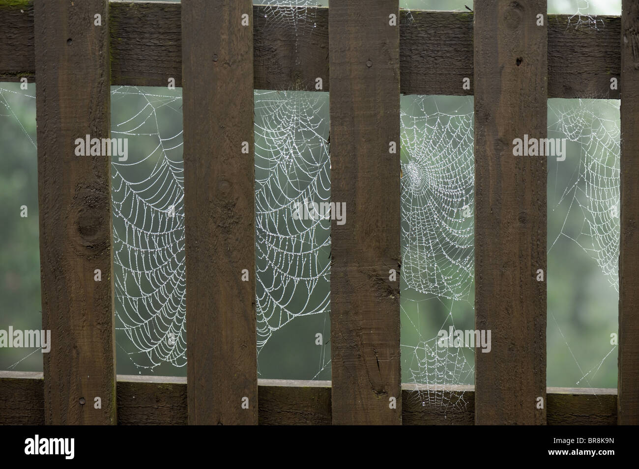 Garden spiders web (Araneus diadematus) on a wooden picket fence on a misty morning - Stock Image