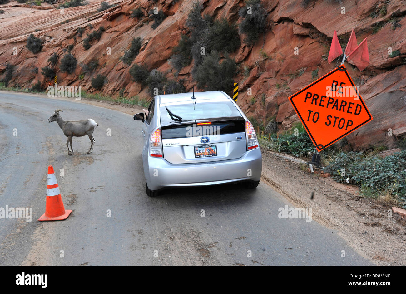 Big horn sheep in Zion National Park USA - Stock Image