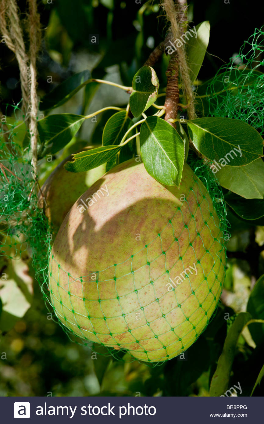 Pear Roosevelt in home made support net netting autumn deciduous edible fruit tree September yellow gold kitchen - Stock Image