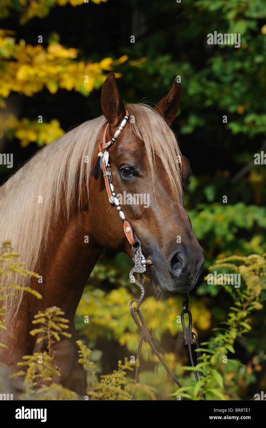 Quarter Horse (Equus ferus caballus), portrait of a stallion with halter. - Stock Image