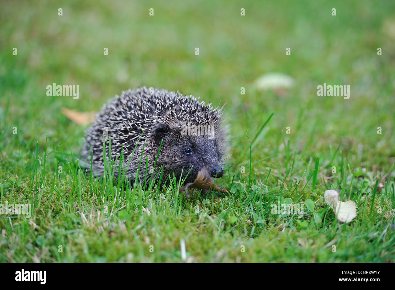 Western European hedgehog (Erinaceus europaeus) looking for food on the grass in a city garden - Brussels - Belgium - Stock Image