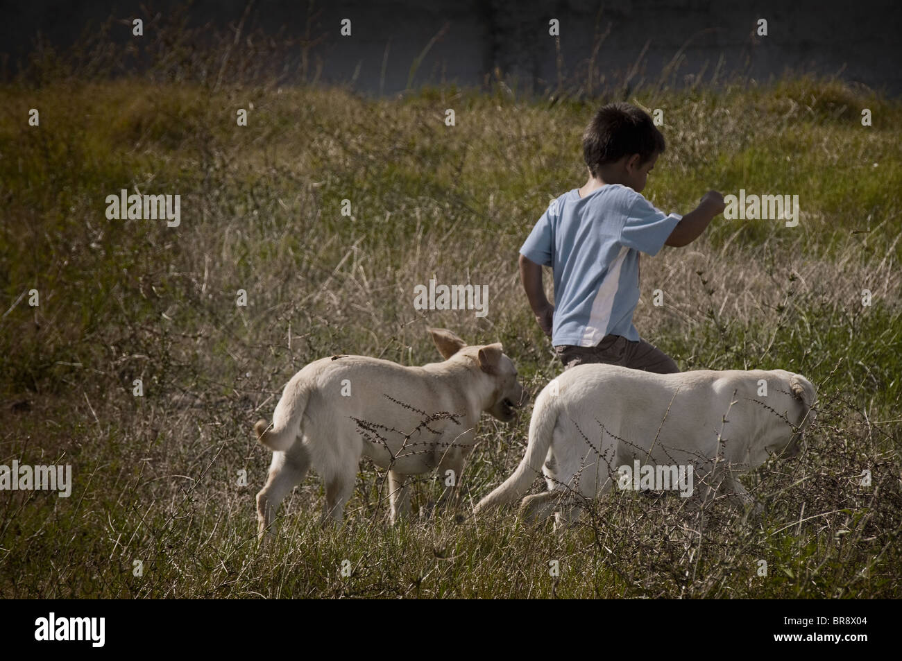 Country life boy playing with labrador dogs on the field by sunset (I added a vignette effect to the image) Stock Photo