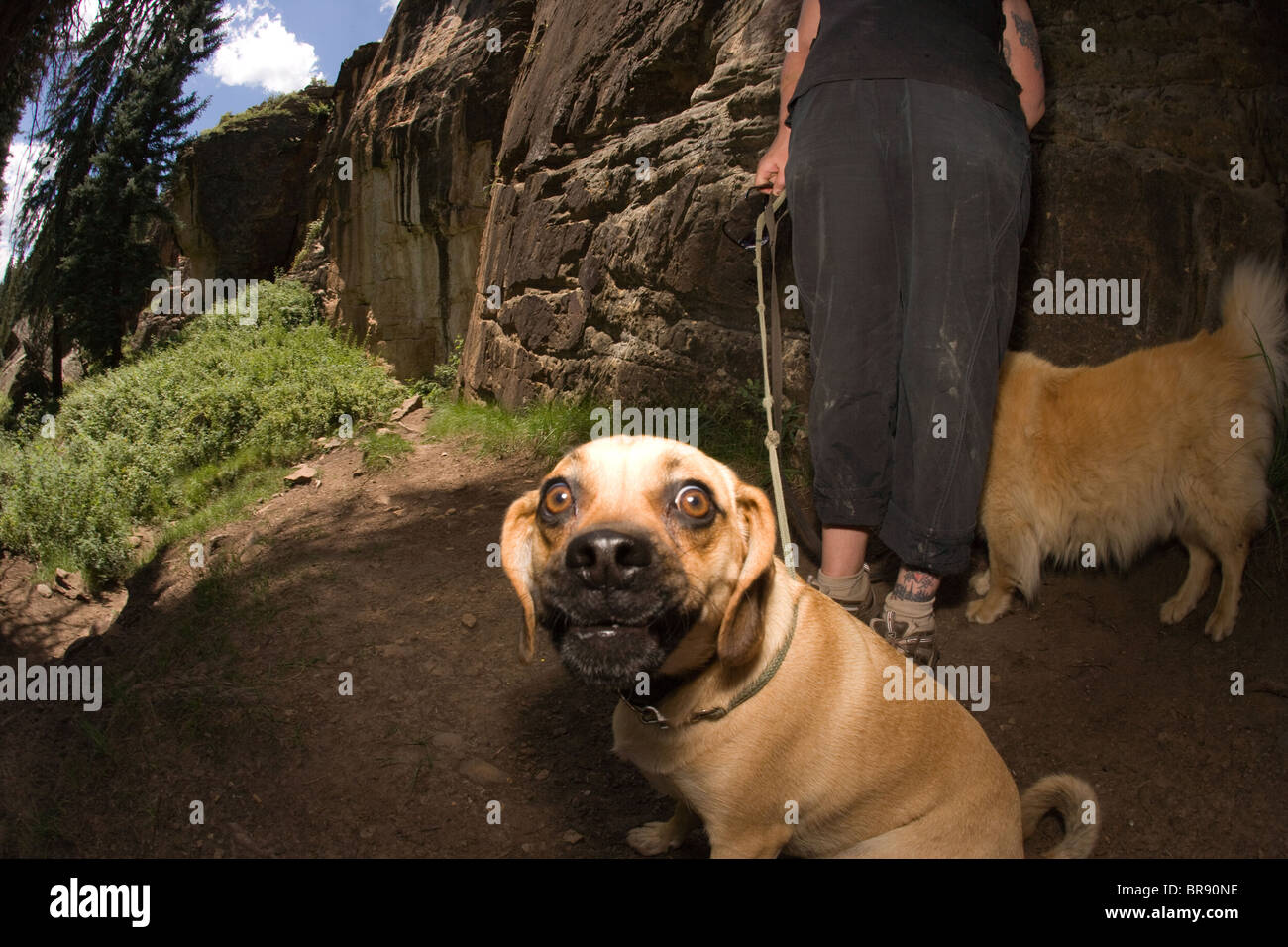 pug mix dog on a leash looking at camera outdoors - Stock Image
