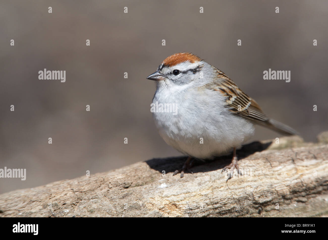 Adult Chipping Sparrow Perched on a Log - Stock Image
