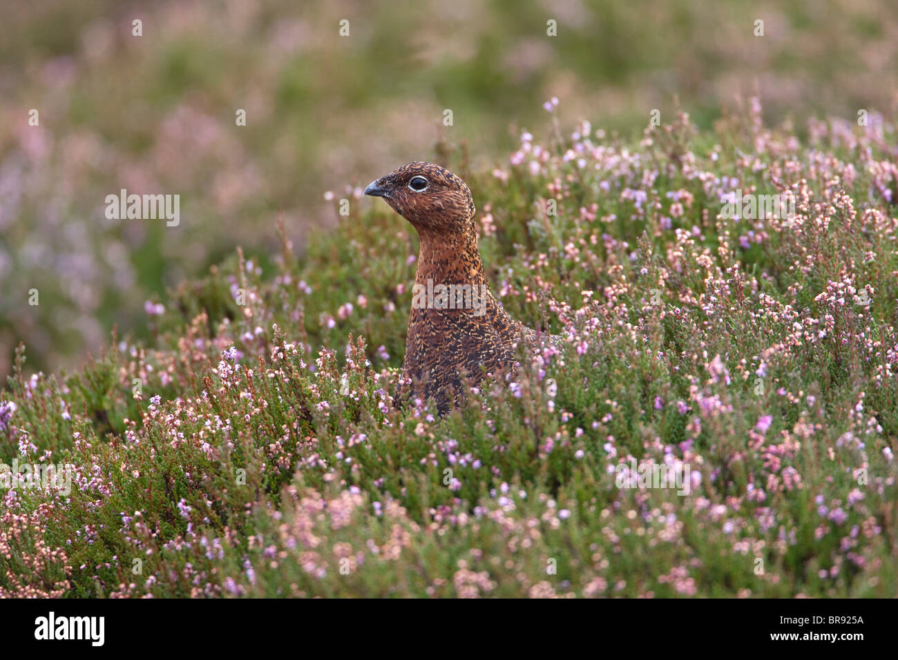 Female Red Grouse Lagopus Lagopus on a wet heather moor in South Yorkshire - Stock Image