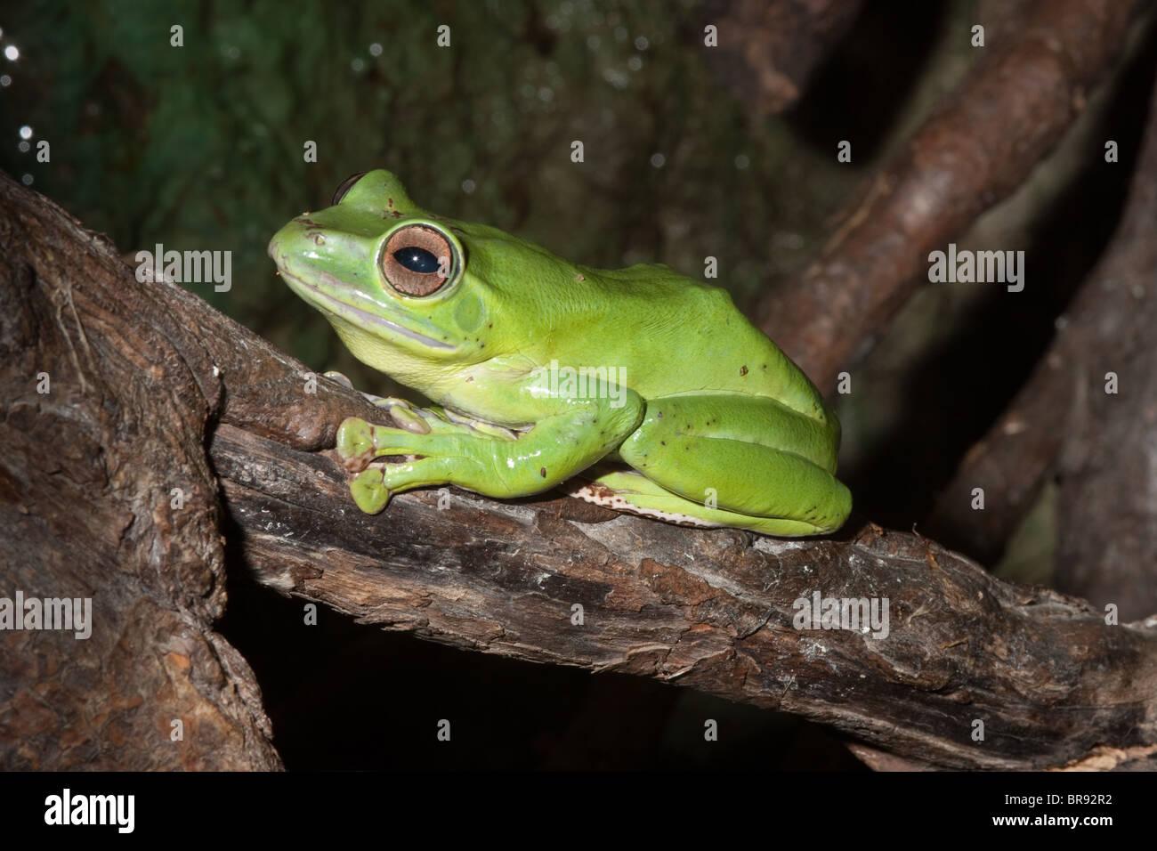 Chinese Gliding Frog (Polypedates dennysi) Stock Photo