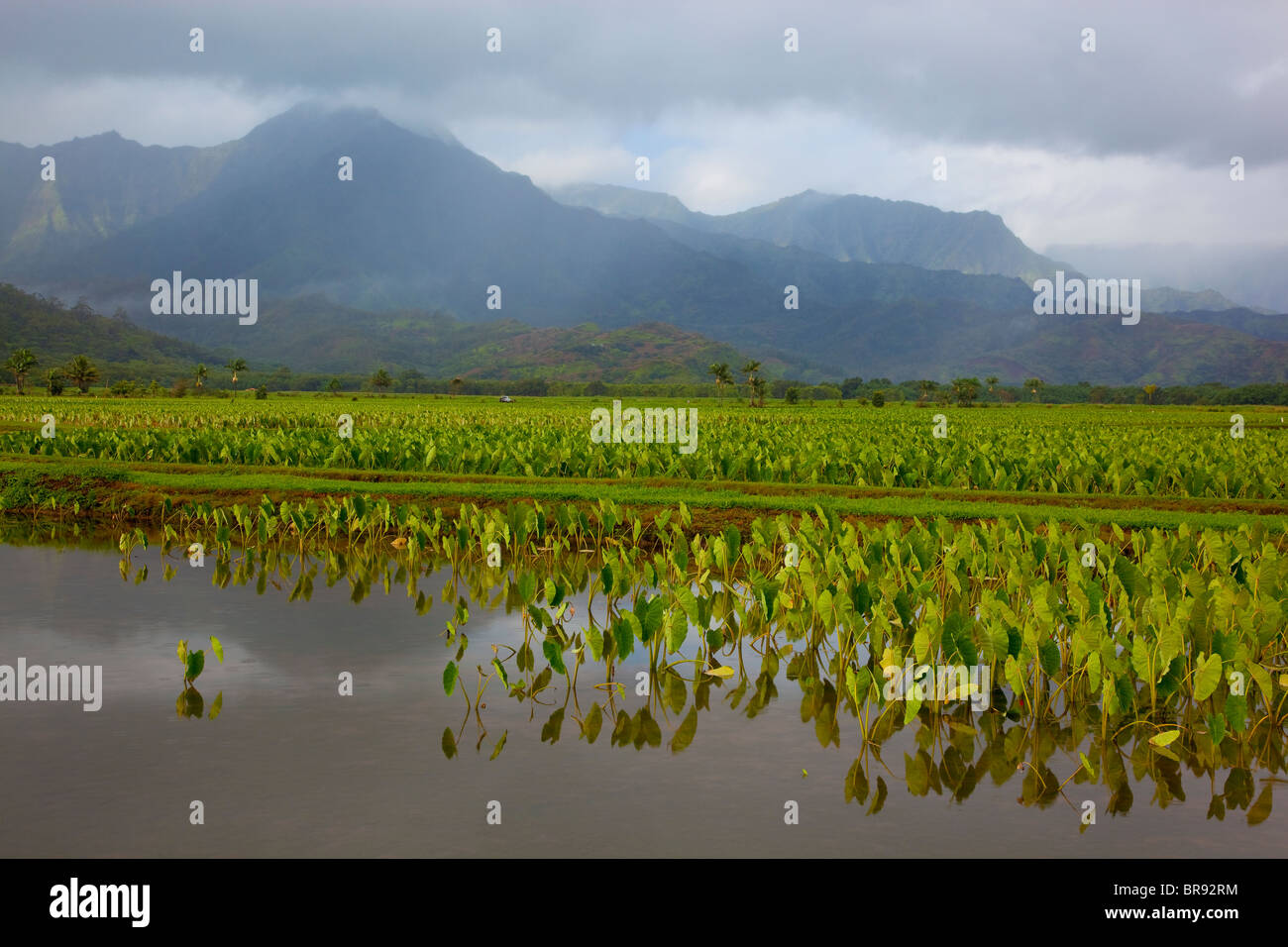 Kauai, HI: Hanalei Valley taro fields in Hanalei National Wildlife Refuge - Stock Image
