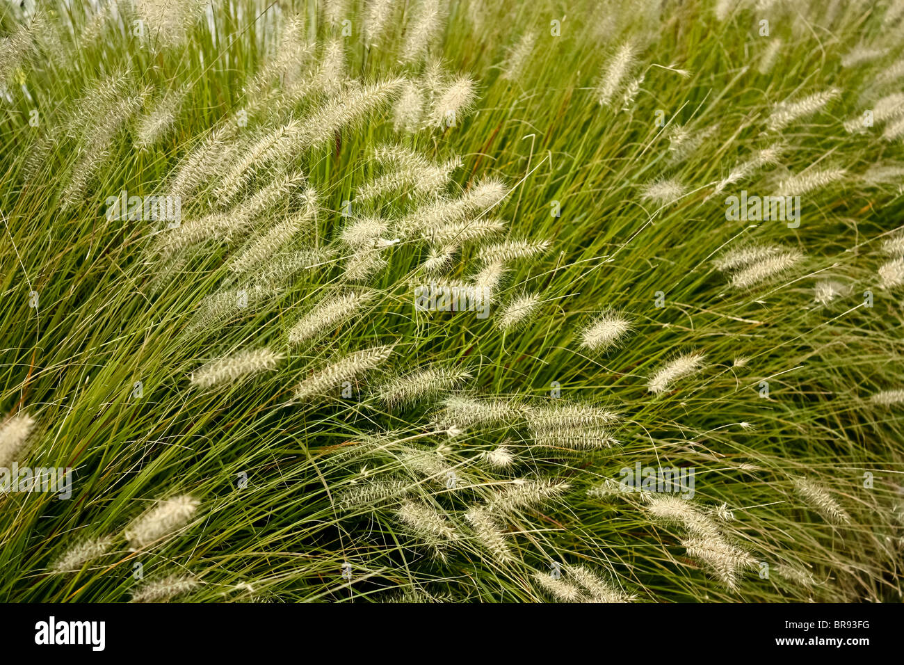 tall grass windy - Stock Image