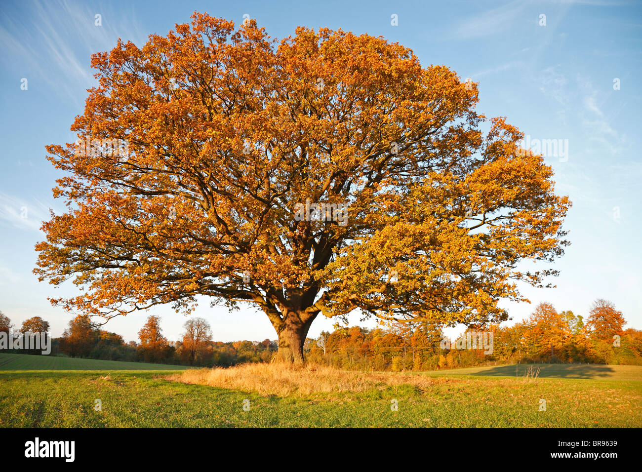 Big, old oak tree (common oak, English oak, Quercus robur) on field with fall brown coloured leaves in autumn sunset, Stock Photo