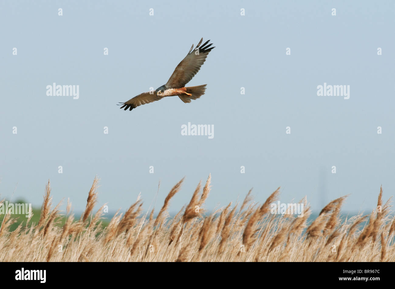 Marsh Harrier, Circus aeruginosus, adult male, in flight, over reedbed, North Kent Marshes, Kent, England. Stock Photo