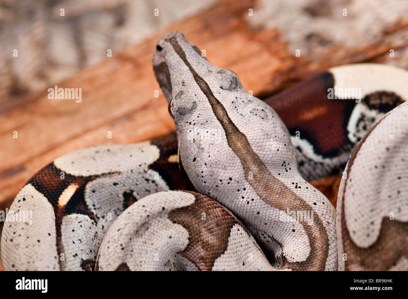 Young Red Tailed Boa constrictor from Suriname Stock Photo