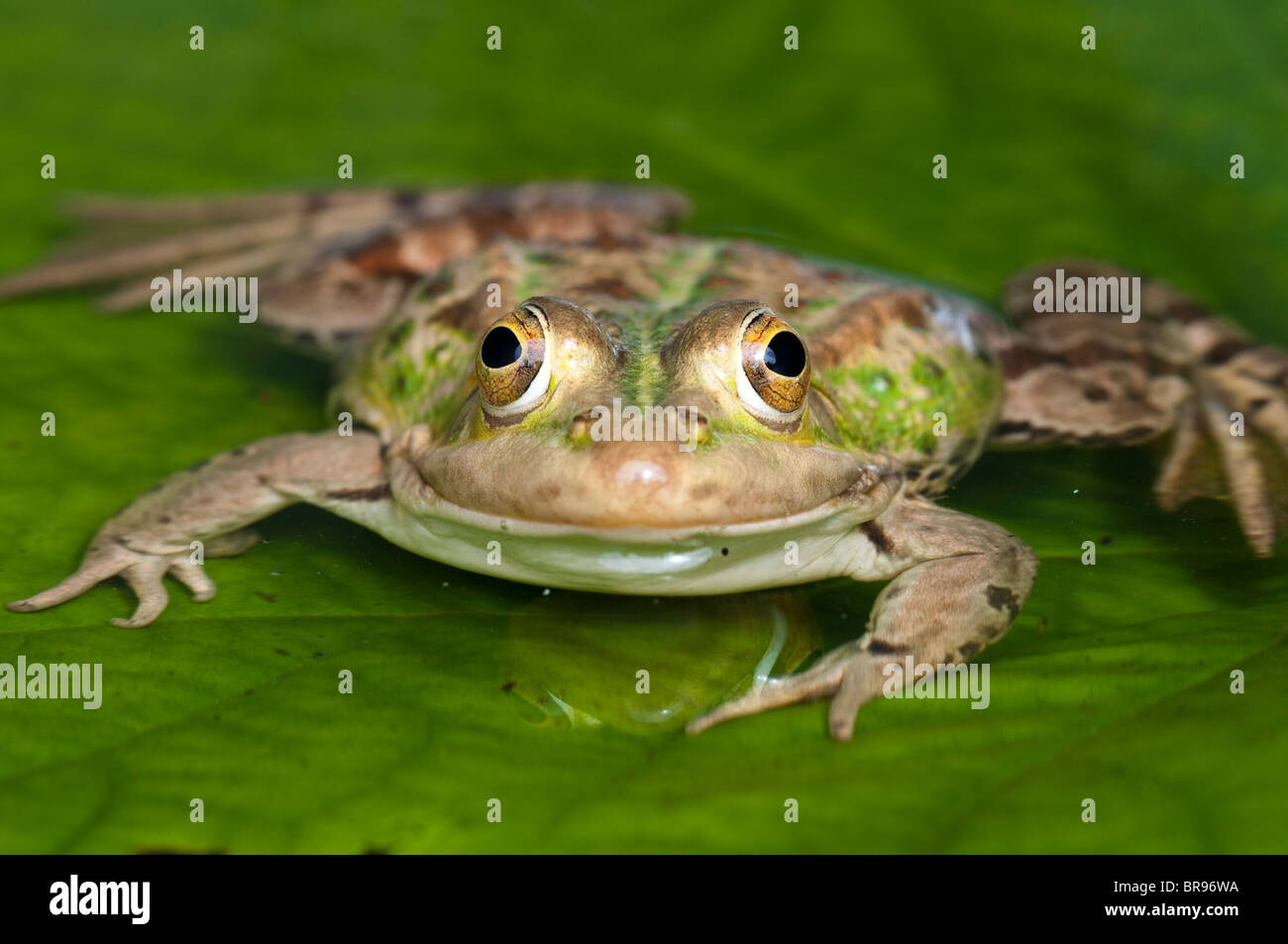 European Pool Frog - Pelophylax lessonae (formerly Rana lessonae) - Stock Image