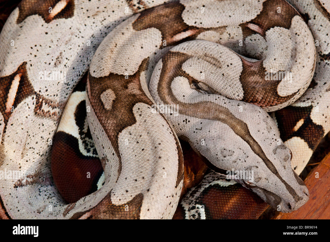 Young Red Tailed Boa constrictor from Suriname - Stock Image