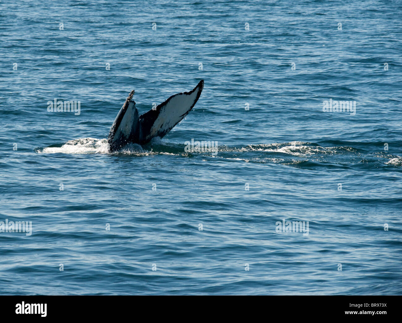 The tail of a Humpback Whale - Stock Image