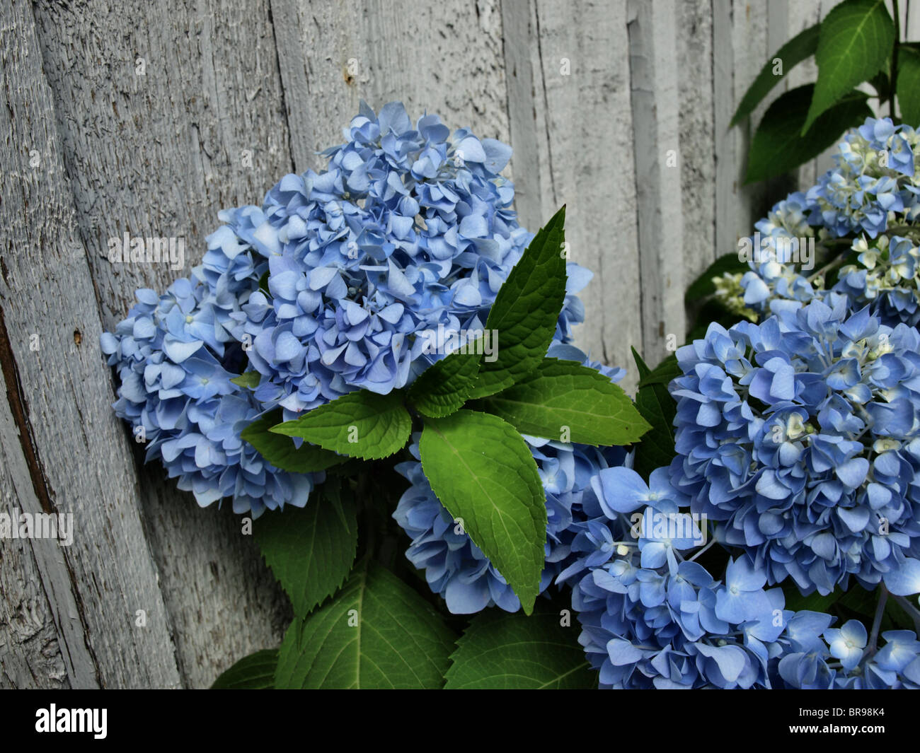 Hydrangea plant with blue and purple flowers and deep green leaves hydrangea plant with blue and purple flowers and deep green leaves in full bloom in the summer izmirmasajfo