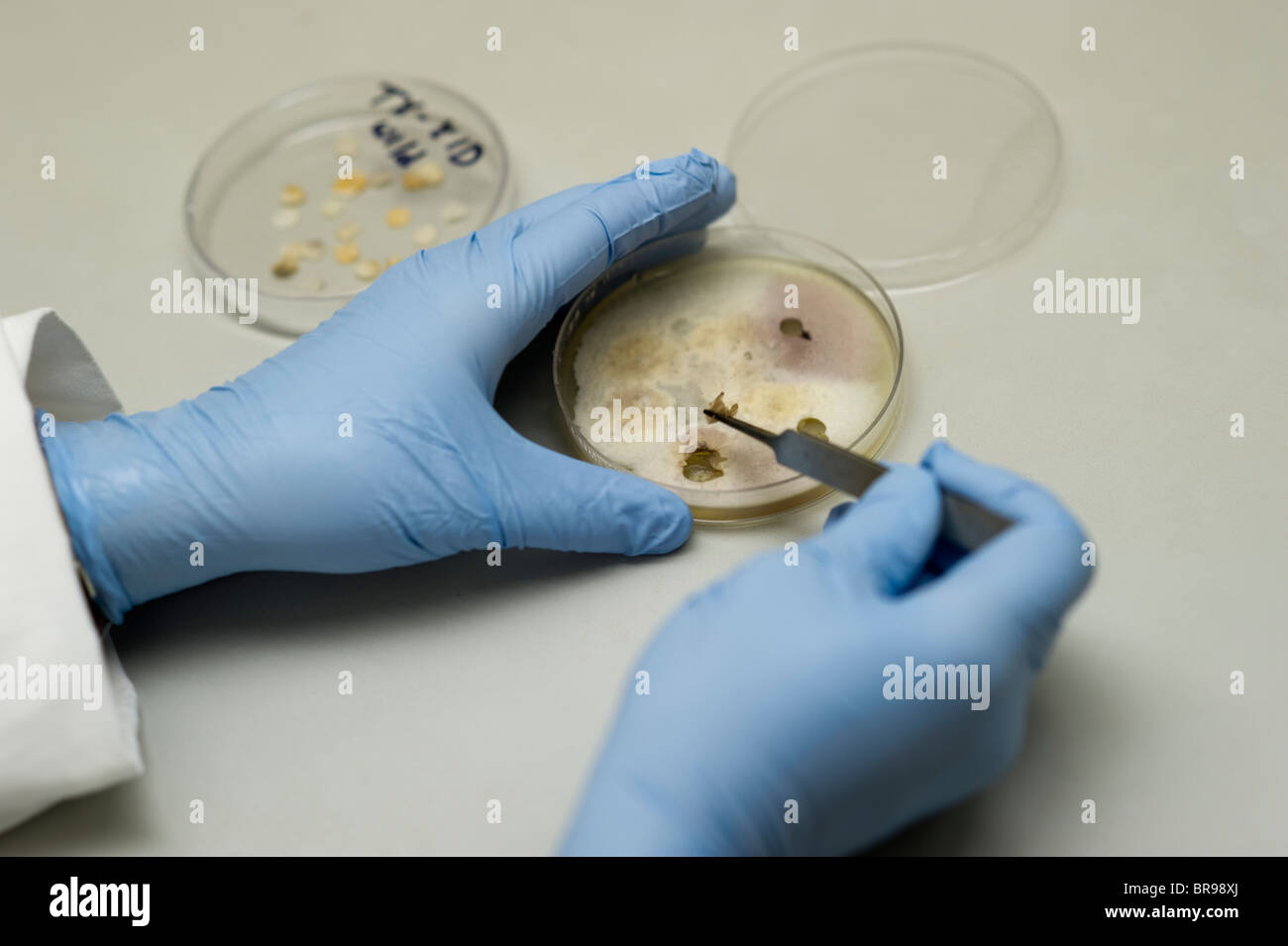 Fungus cultures in Plant Pathology lab - Stock Image
