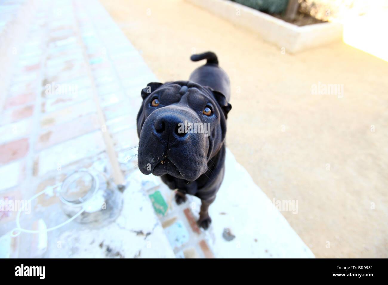 Shar Pei dog looking upward - Stock Image