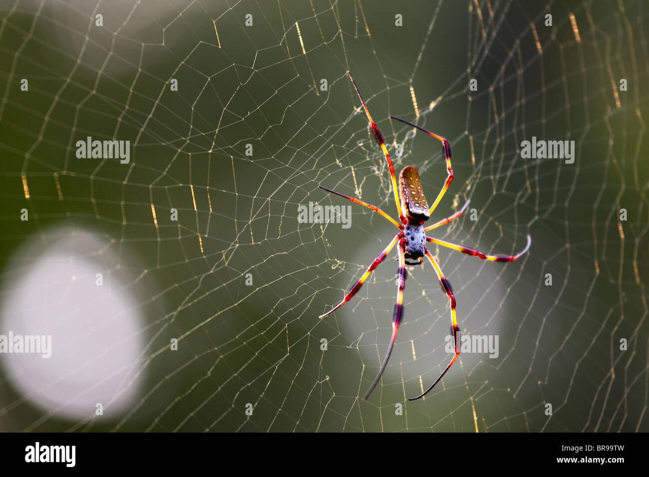 Large colorful orb weaver spider in spider web, Bayou La Batre, Alabama, US - Stock Image