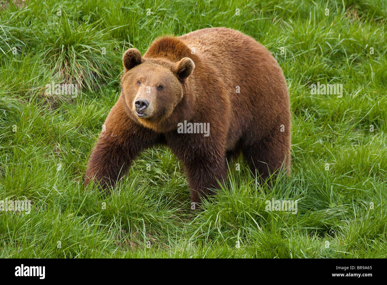 Grizzly bear roaming in territory-Note-Captive subject. - Stock Image