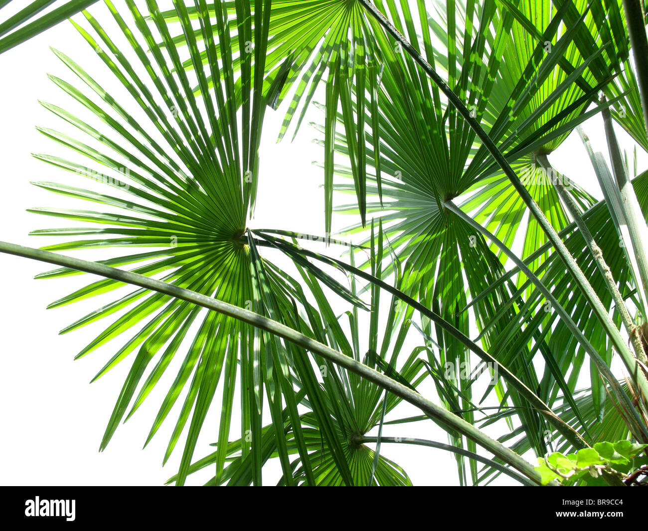 leaves of palmtrees - canton of ticino - switzerland Stock Photo