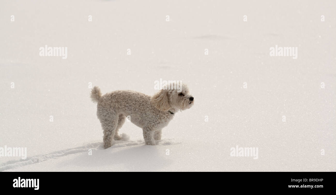 A white dog walks in the snow on a frozen lake. - Stock Image