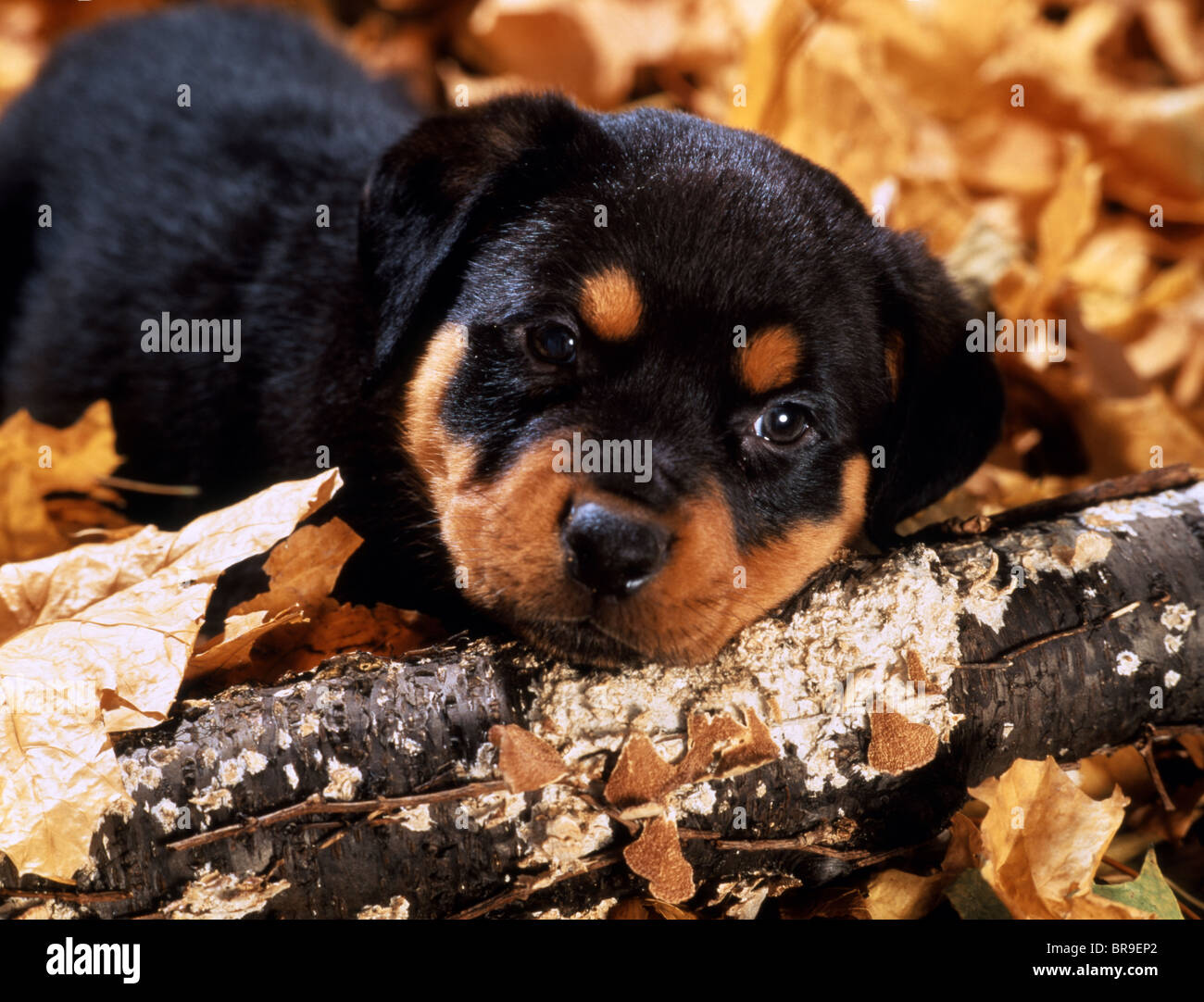 ROTTWEILER PUPPY LYING IN AUTUMN LEAVES - Stock Image
