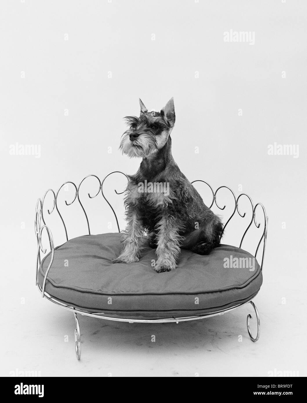 1950s SCHNAUZER DOG SITTING PRETTILY POSED IN BRASS DOGGIE BED - Stock Image