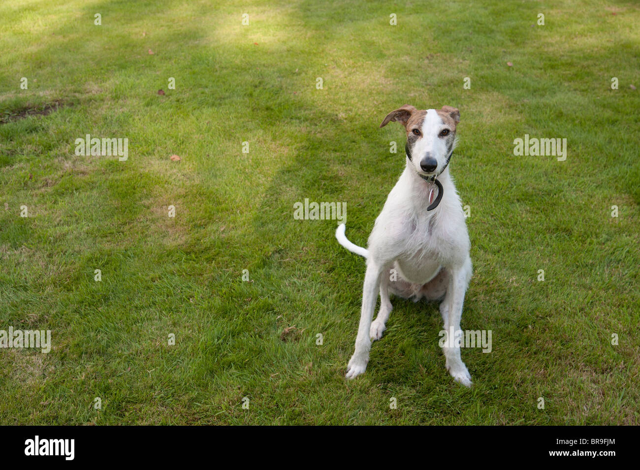Lurcher sitting obediently on a lawn - Stock Image