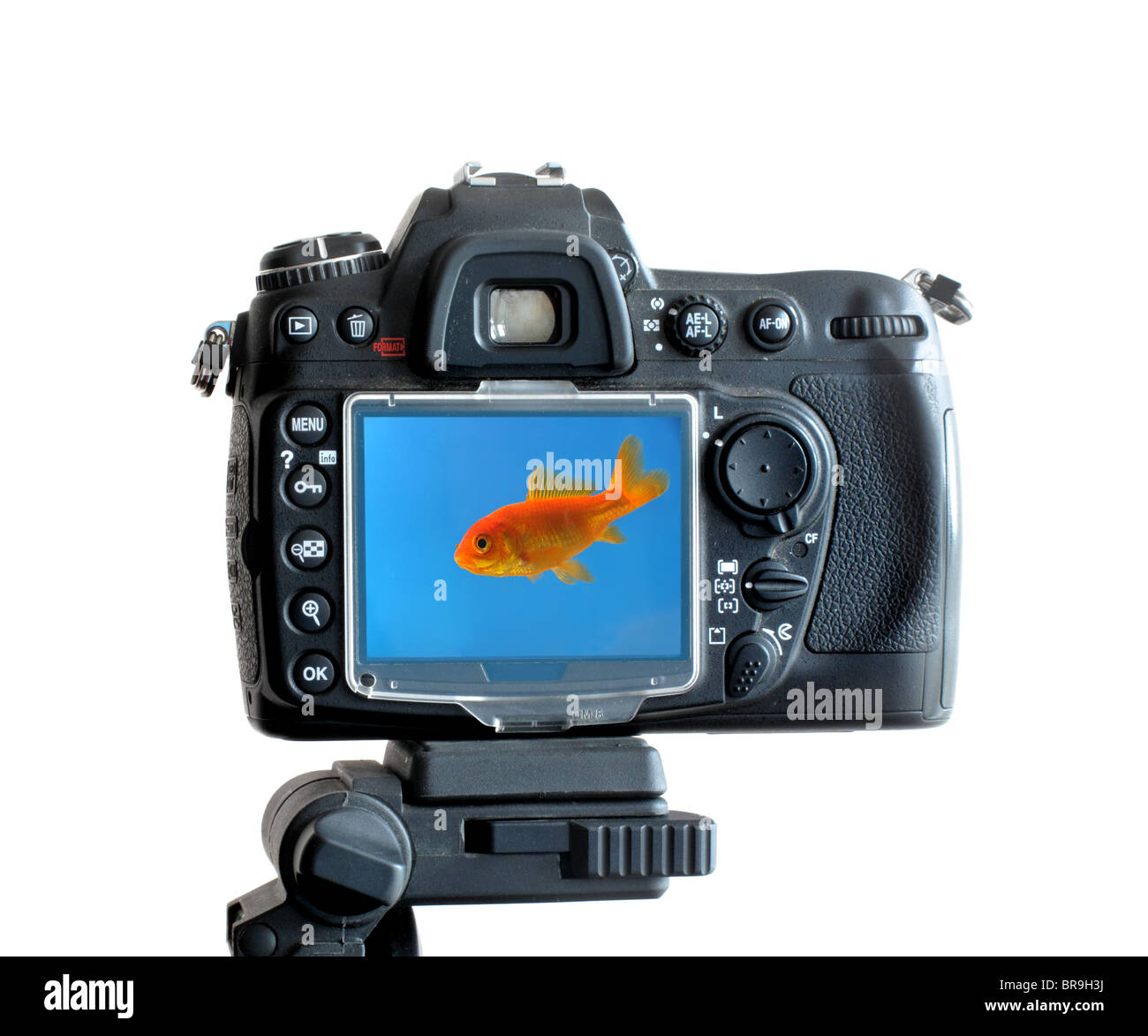 a digital SLR camera mounted on a tripod,showing a swimming gold fish on the LCD screen. - Stock Image