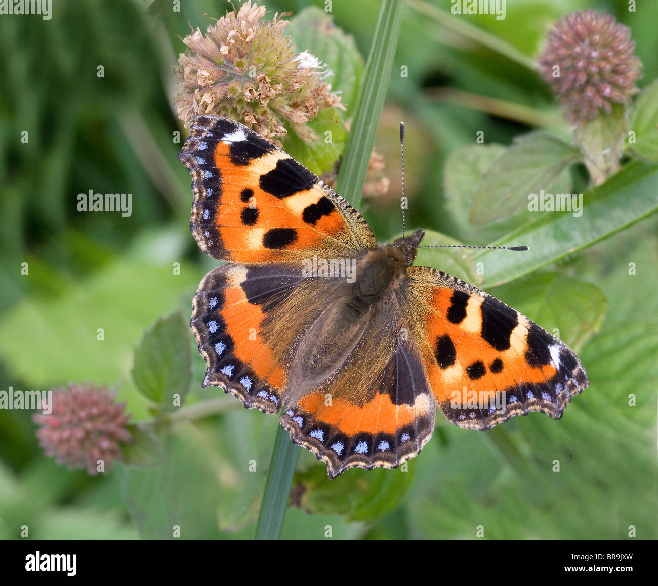 Small Tortoiseshell butterfly Aglais urticae a fine imago of the autumn brood in the UK feeding on water mint flowers - Stock Image